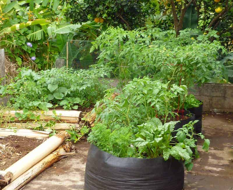 planting a garden on a driveway: Pictured, two raised beds made from banana stumps, and three grow bags all full of green vegetable plants.