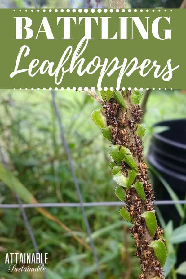 leaf hoppers