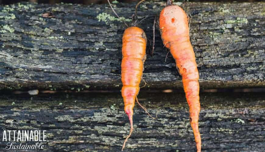 Two imperfect carrots on a wooden background