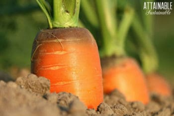 carrots growing in soil, tops sticking above ground