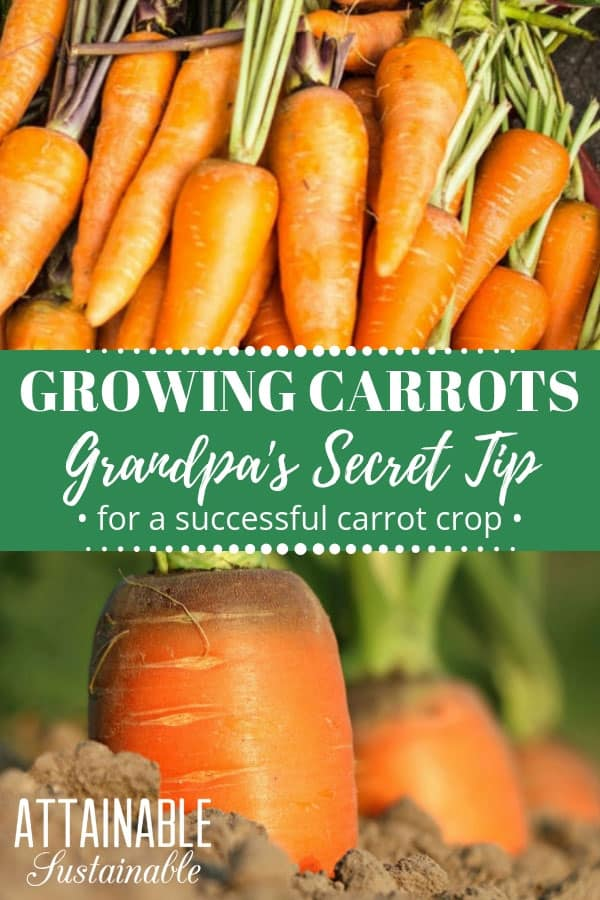 carrots up close, carrots growing in soil