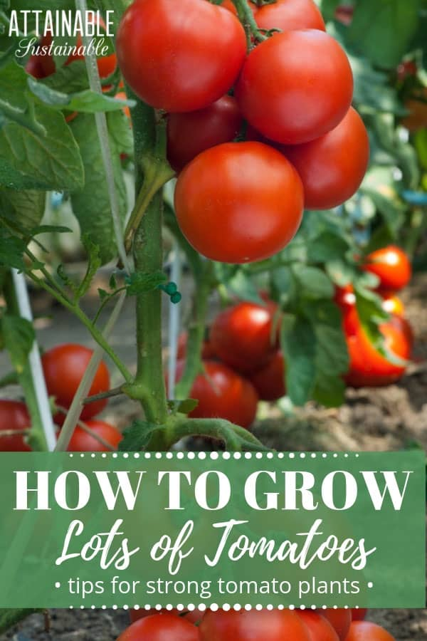 Tomatoes are easy to grow. But knowing how to plant tomatoes properly will give them a very solid start. Take advantage of this little quirk of tomato plants to create a sturdy, well-rooted plant in your vegetable garden. This planting technique will set you up for healthy tomato plants and an abundant harvest. #garden #growingfood #tomatoes