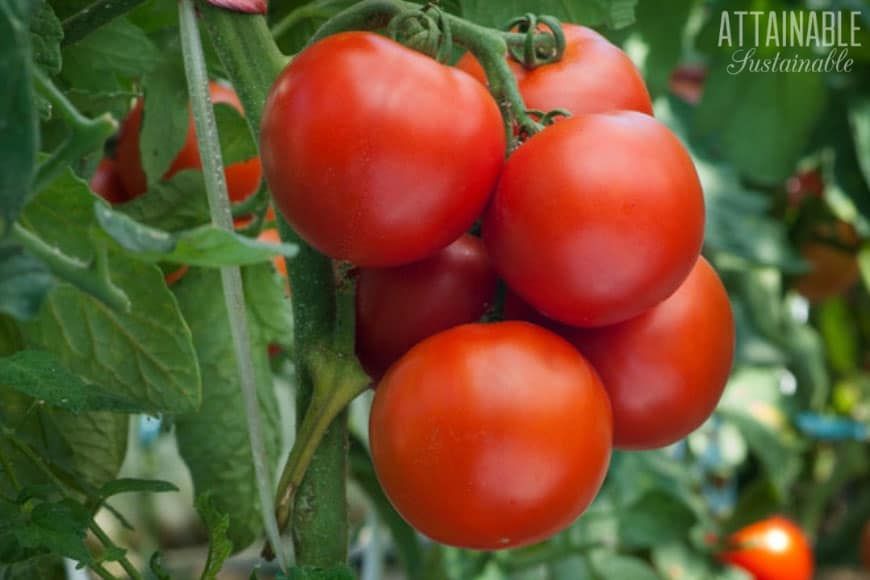 cluster of red ripe tomatoes growing on a vine