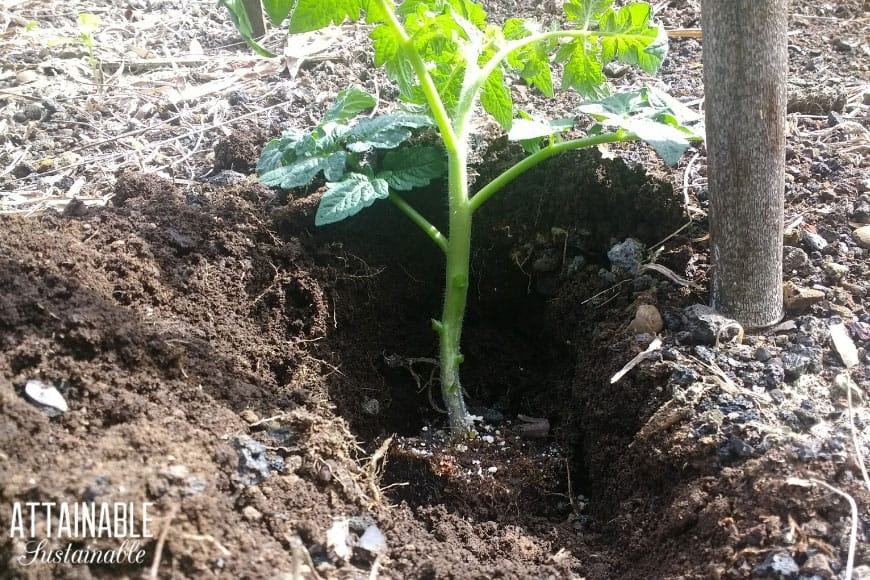 tomato seedling in a deep hole