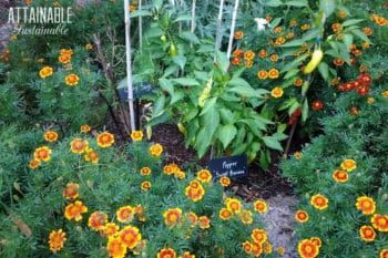 marigolds and peppers together in an edible front yard garden