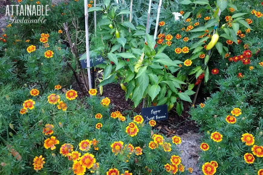 Companion Planting With Herbs For A More Robust Garden