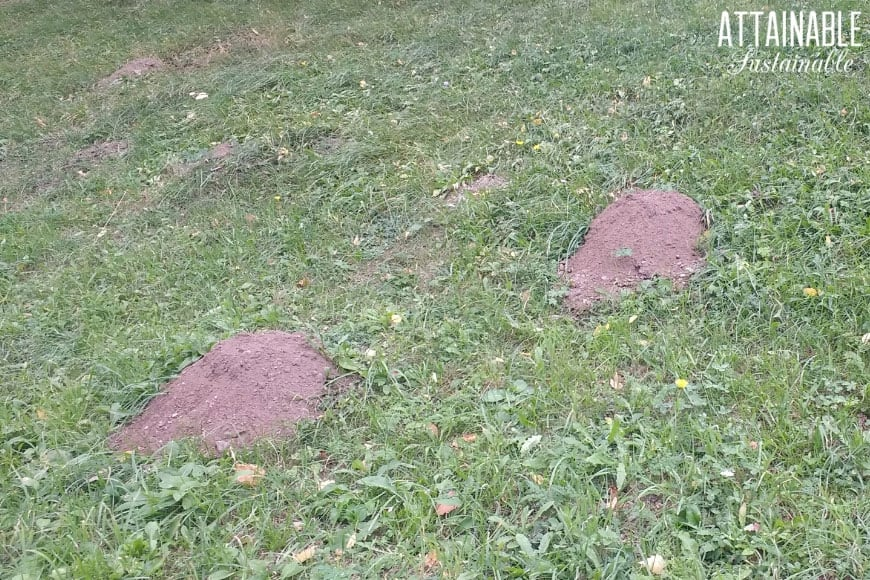 Pocket Gopher Holes On A Gry Hill