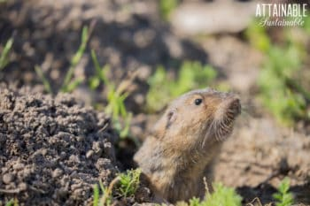 pocket gopher sticking its head out of its hole