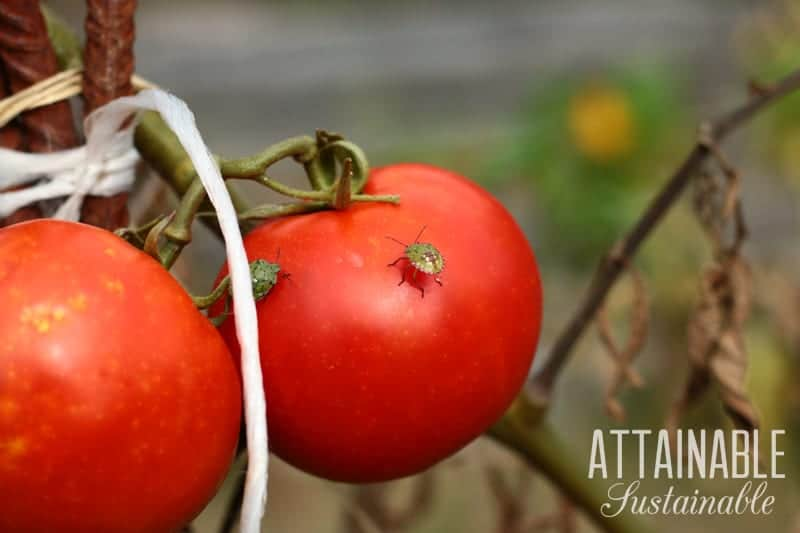 red ripe tomatoes with a squash bug