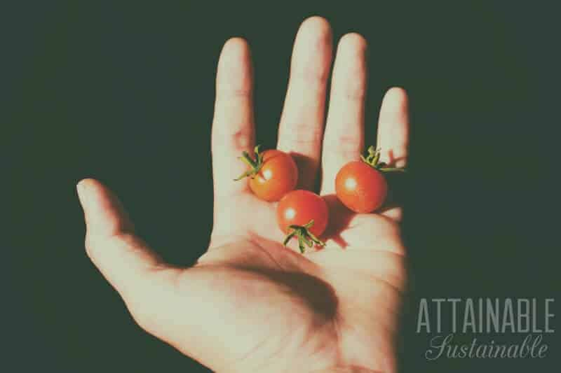 whole cherry tomatoes held in a left hand