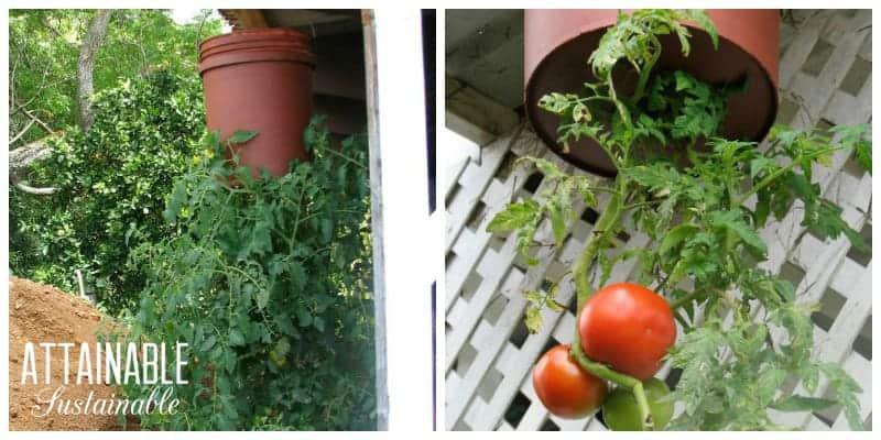 1upside-down-tomato-5