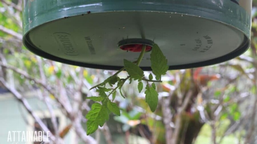 close up of upside down hanging tomato planter in a five gallon bucket