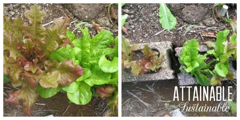 Before and after image of red and green leaf lettuce in concrete blocks. Showing how to harvest lettuce