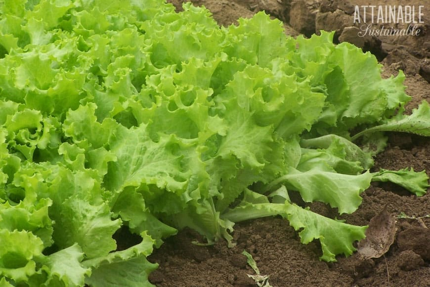 green leaf lettuce growing in a garden