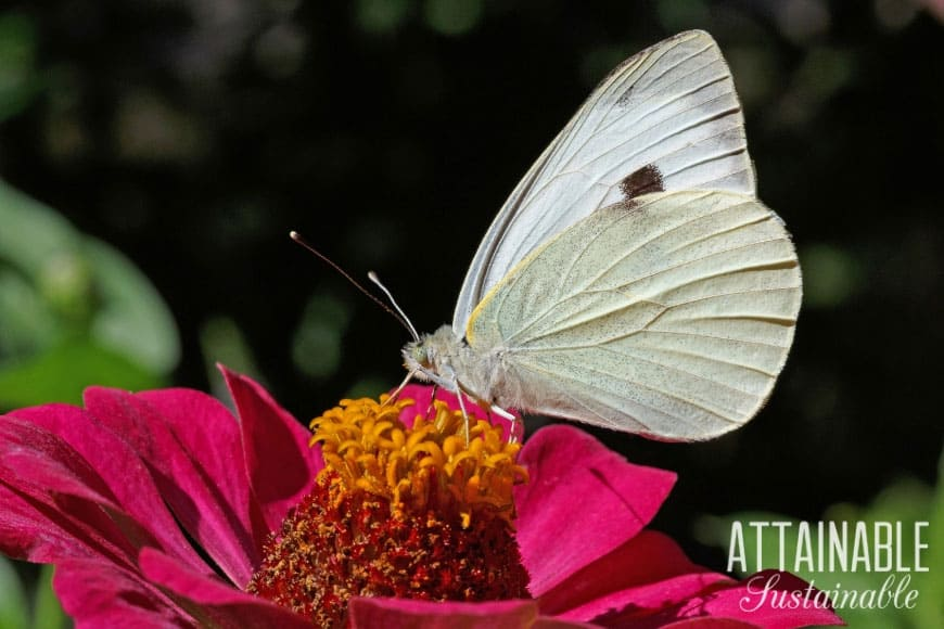 cabbage white butterfly on a pink zinnia