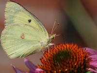 Combat Cabbage Whites in the Garden