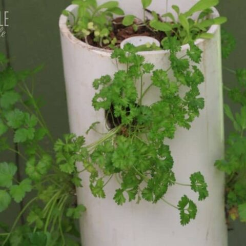 herbs growing in a white pvc garden tower