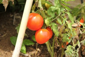 Fresh tomatoes are a source of food for an extended period in the garden.
