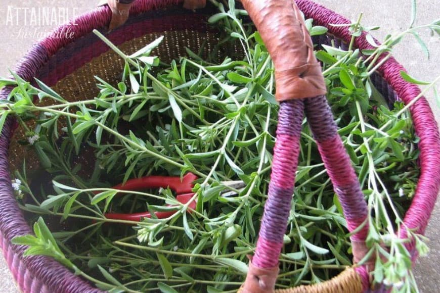fresh stevia in a pink and purple woven market basket; text: growing stevia, natural sweetener