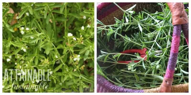 stevia plant with white flowers, left. freshly harvested stevia in pink woven basket, right