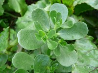 Perfectly Purslane