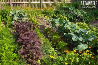 vegetable garden with various crops and calendula in foreground