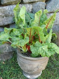 Grow Swiss chard