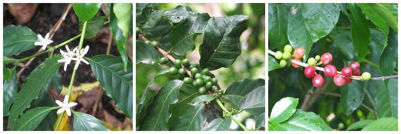 three stages of coffee growing on a tree: flower, green cherry, red cherry