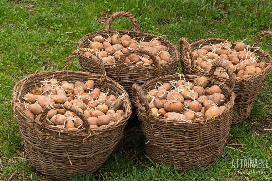 brown potatoes in wicker baskets on a green lawn
