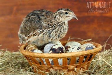 coturnix quail sitting on a basket of quail eggs