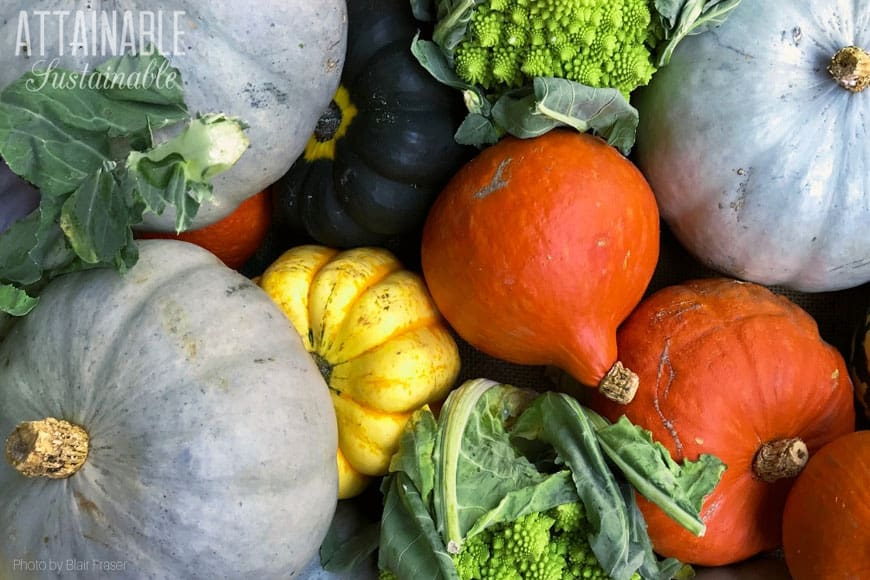green, yellow, and orange winter squash in a pile, from above - great high calorie vegetable option!