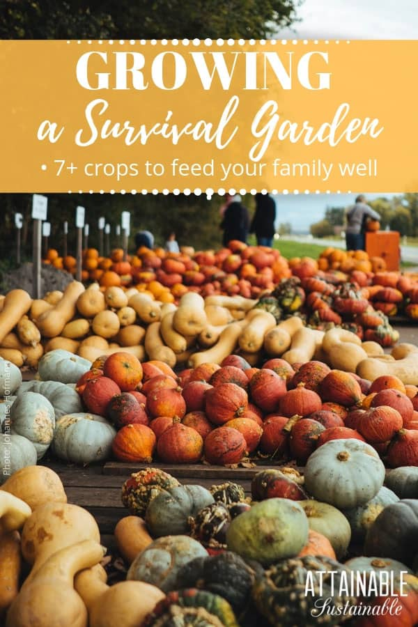 Growing root vegetables and starchy staple crops in your garden will ensure that you harvest plenty of calories. Staple crops have sustained humans for countless years, and are a perfect addition to healthy meals to keep a family fed on a limited budget. #garden #growingfood #homestead