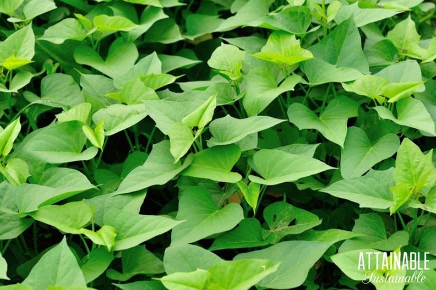 lush sweet potato leaves