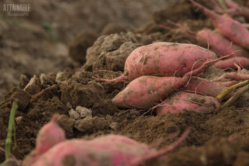 pink sweet potatoes laying on brown dirt