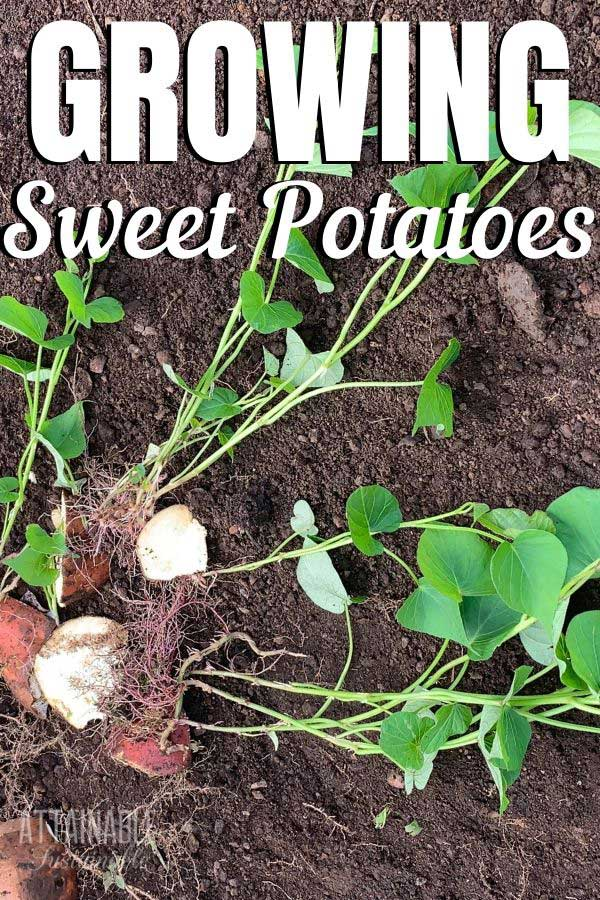sweet potato slips
