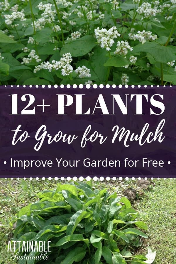 Mulching is one of the best things you can do for a vegetable garden. Here's how to generate free mulch right on site by growing your own! #vegetablegarden #gardening #homestead