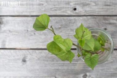 Indoor Greens: The Edible Sweet Potato Vine