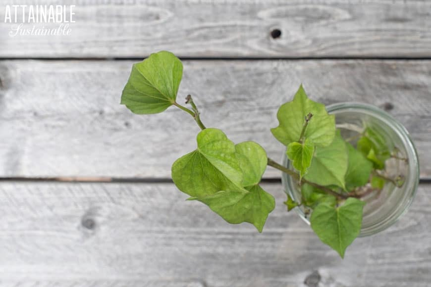 green sweet potato vine on a white board table