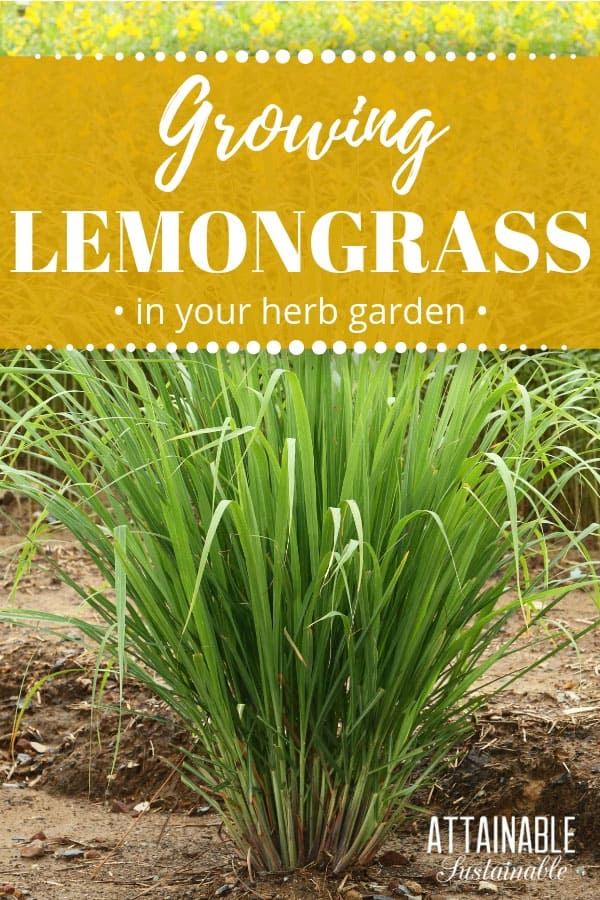 Growing lemongrass is easy. It's a pretty addition to gardens, but it's a flavorful edible, too. Use it to give soups, stir fries, and tea a little extra zing. #herbs #garden
