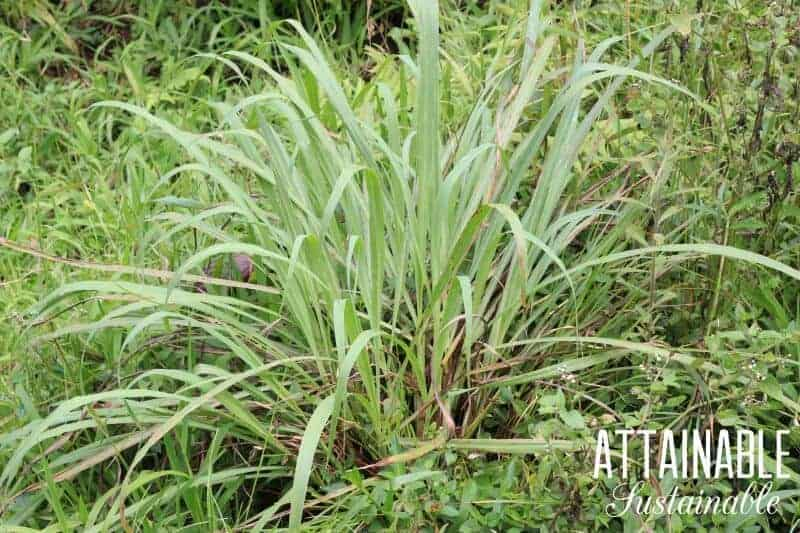 Lemongrass is easy to grow and pretty, too. Growing lemongrass in your own garden means you'll have it on hand when recipes call for this herb.