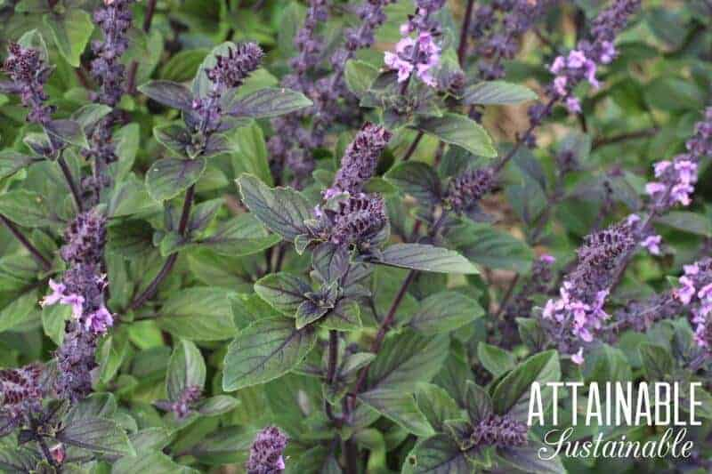 Wondering which herbs to grow in your garden? This list will give you some ideas! Some are great for cooking, others for medicine, and many for both.