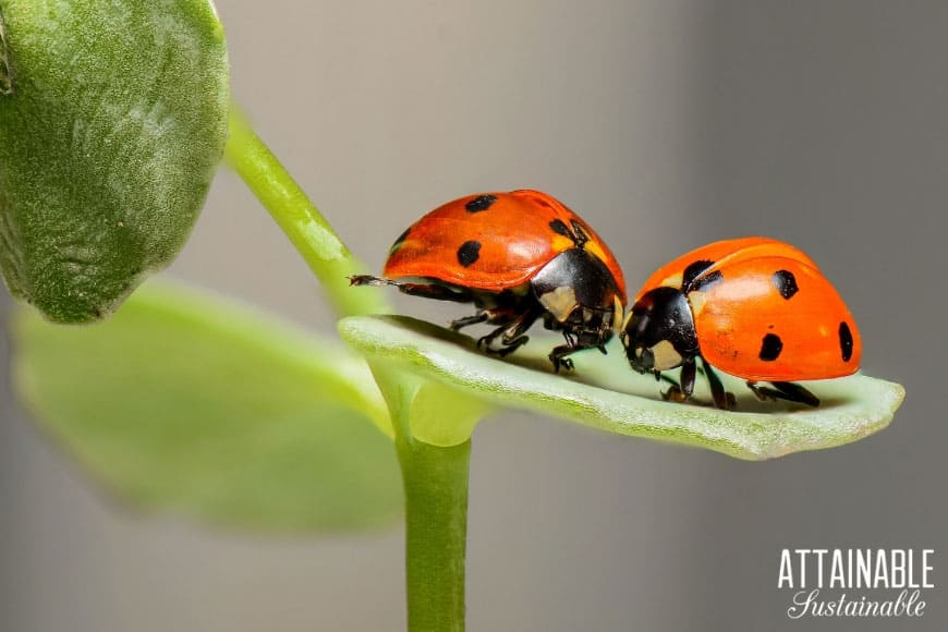 two red ladybugs on a leaf - natural aphid control!