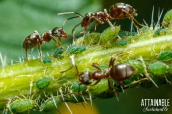 black ants and green aphids on a branch