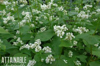 Growing Buckwheat: 9 Reasons You Need it in Your Garden