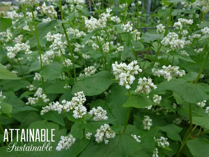 Green buckwheat plants with white flowers - DIY chicken feed!
