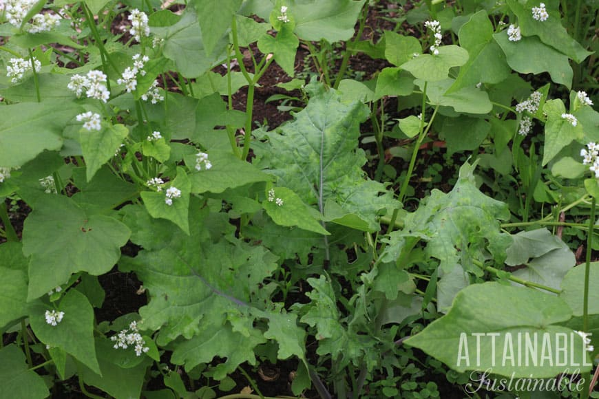 Planting buckwheat with kale together in a garden
