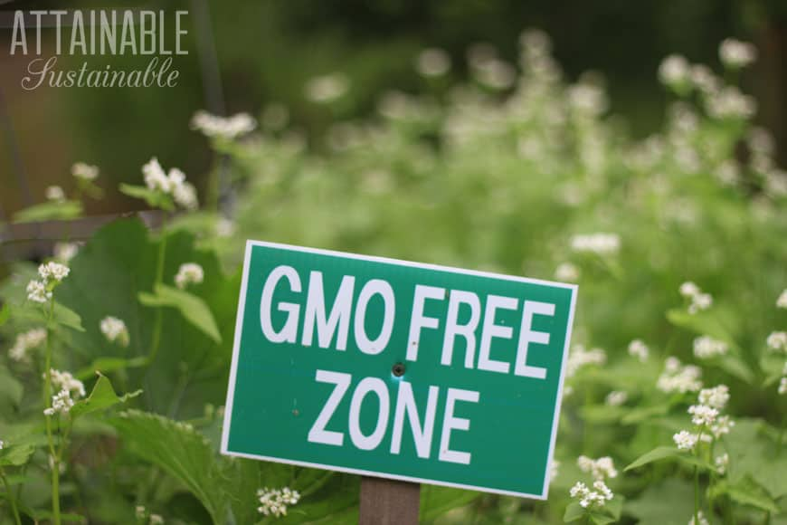 GMO free zone sign with buckwheat in the background