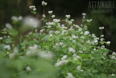 buckwheat plants growing in a garden