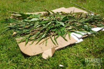 cardboard with fresh greens on top for lasagna garden