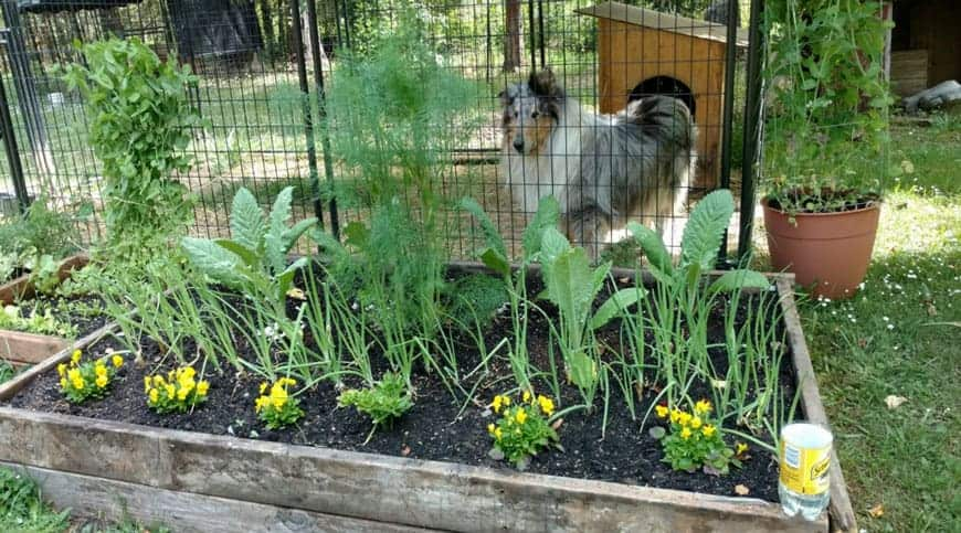 vegetable garden with collie dog in background